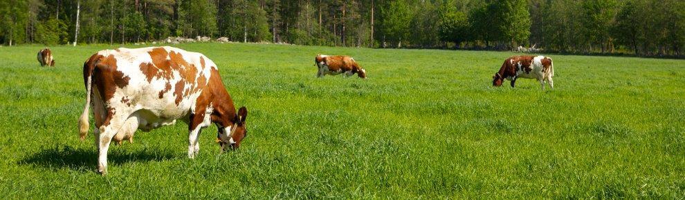 Lehmiä laiduntamassa keväänvihreällä nurmella.