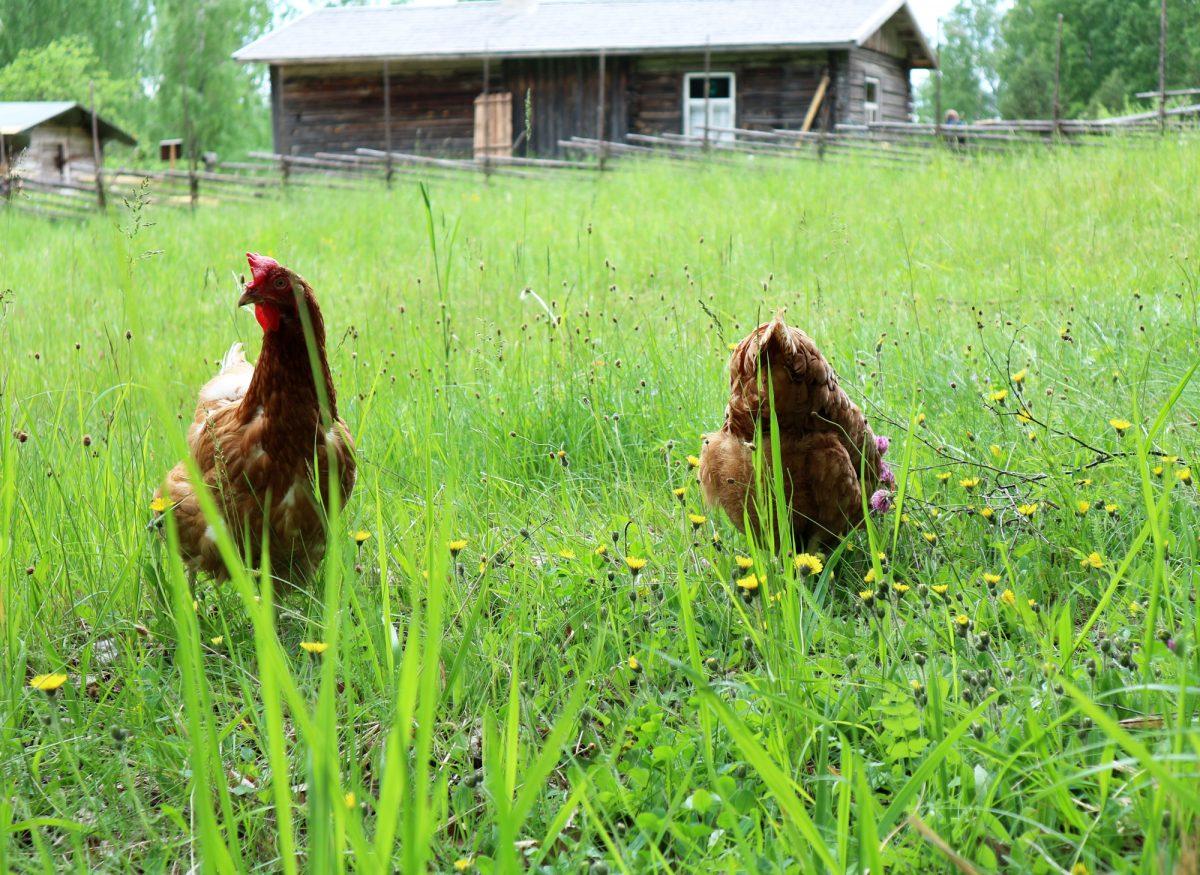 Liehtalan tilan kanat astelevat vapaina etsimässä ruokaa pihanurmikolla.